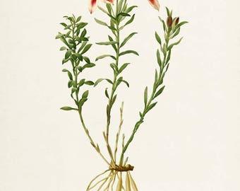Lily of the Incas Flower Print - Lily Art Print - Botanical Print Flower Art - Floral Art - Garden - Redoute - Alstroemeria Pelegrina