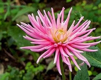 30 ROSE Pink NEEDLE ASTER Callistephus Unicom Flower Seeds *Flat Shipping