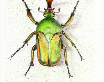 Beetle Giclee Art Print A4 Morgani White Insect Bug Coleoptera Scientific Drawing Museum Specimen Science and Nature Art Print