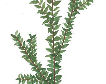 Boxwood branch, watercolor painting, art print, greenery art, botanical print, natural art