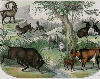 """1860 Rare Large amazing antique DOMESTIC ANIMAL print, Bull, goat, cow, 156 years old, size 17'' x 13"""" inches"""