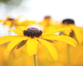 brown eyed susan - dreamy vintage floral photography