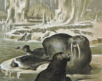 Seals print. Antique illustration 136 years old. 1881 lithograph. 8'46 x 12'05 inches.