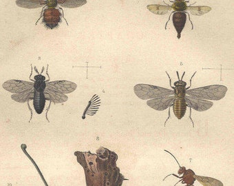 1862 Antique INSECTS Print Hand Colored Engraving Entomology Wasp Original Book Plate