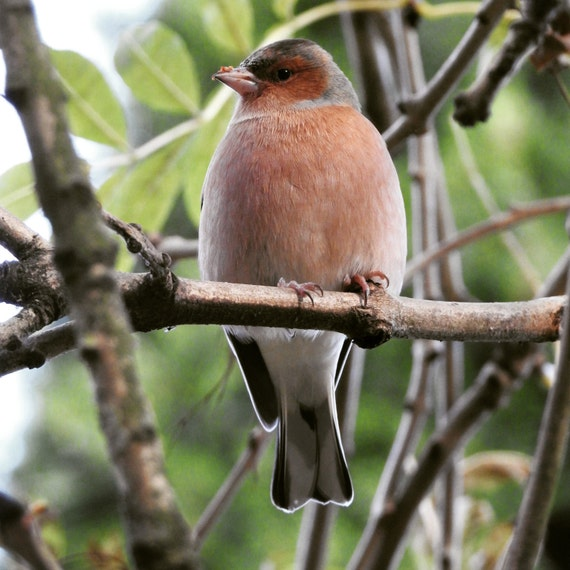 chaffinch in a tree