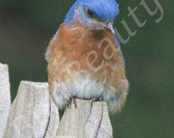 Bluebird resting on a fence post