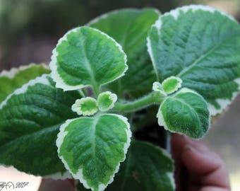 Cuban Oregano, Indian Borage ,Mexican Mint - Smells and Tastes like Oregano!  Variegated Culinary Herb from Africa!