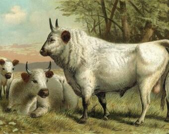 Chillingham Cattle, Wall Art, Cattle Art, Cattle Wall Art, Cattle Wall, Art Cattle, Art Wall, Cattle Art Prints, Cattle Prints, Art Prints