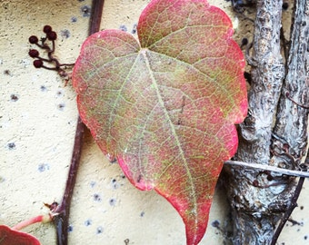 Heart Leaf//colorful//photography