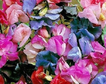 50+ LATHYRUS Most Fragrant  Mix SWEET PEA Flower seeds/ Reseeding Annual