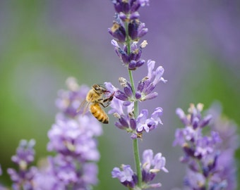 Honeybee decorative photo print