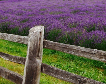 "Pelindaba Lavender Farm on Print 8"" x 18"""