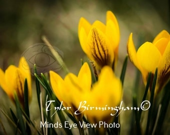Spring Flowers Yellow Snow Crocus Nature Fine Art Flower Photography Print