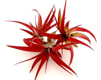 Set of 3 Red Brachycaulos Abdita Air Plants  Tillandsia /  Red Air Plants / Office Decor  Home Decor