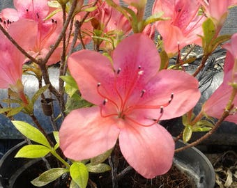 "Azalea bonsai or garden variety ""Freedom"""
