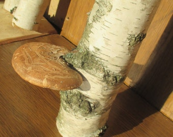 Decorative Birch tree log with FUNGUS,tree fungi,Flower arrangement,Rustic home decor, Craft supply, terrarium, fairy garden, florist supply