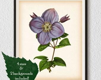 Botanical decor, Clematis, Digital download, Antique botanical print, Restored illustration, Vintage flower print, Botanical printable, #17