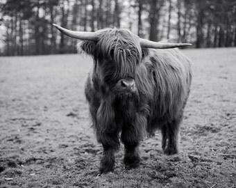 Highland Cow #5