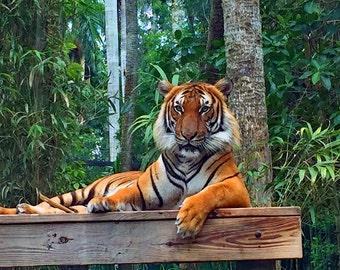 Florida Tiger 11x14 Print