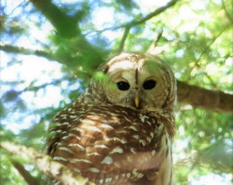 Into the Light (Barred Owl)