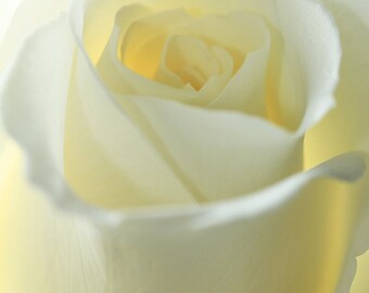 White Rose, Flower, Rose, White, Nature, Photography, Wall Art