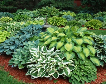 50+ HOSTA SEED MIX - 1000s of Varieties - Numerous Colors Shapes and Sizes