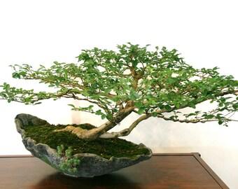 100+ Bodhi Tree Seeds - Sacred Fig - Buddha / Bo Tree - Ficus religiosa - Bonsai - Combine Shipping!