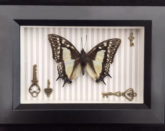 Real Taxidermy Butterfly - Victorian Steampunk
