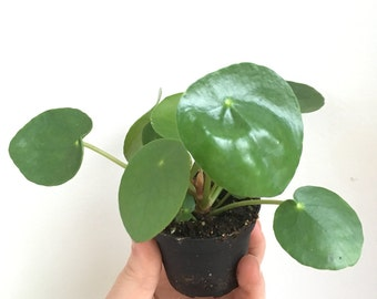 Houseplant - succulent plant: peperomioides cell