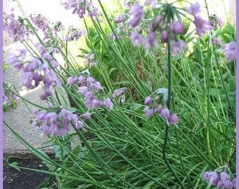 250 ALLIUM NODDING ONION Allium Cernuum Flower Seeds