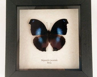 Real butterfly framed - Napeocles jucunda