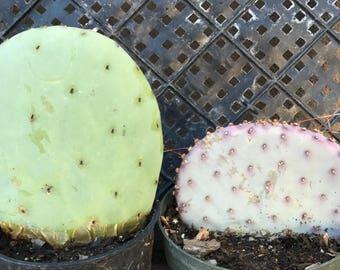 Pair of Colorful Prickly Pear Cactus-1 Peruvian Apple Cactus