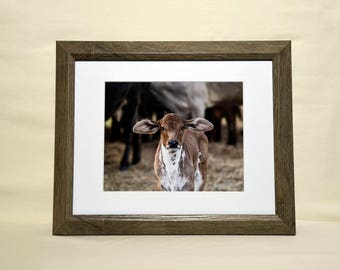Eager Calf Photo Matted and Framed