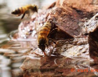 Bee Drinking 4