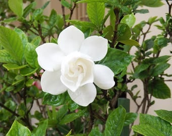 10 ml White Gardenia Fragrance Oil by AWiser| Undiluted Fragrance Oil |10 ml | Made to Order