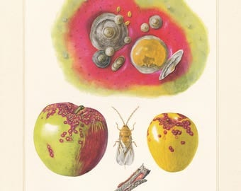 Vintage lithograph of San Jose scale insect from 1956