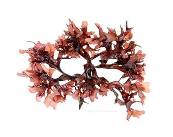 Seaweed (Chondrus crispus No.1) - 12 x 12 photograph - foraging, beachcombing, beach