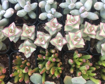 100 Succulent Plants, Succulent Wedding Favors, Weddings,Gifts, Bouquets