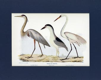 Natural History 1911 Antique Print of Group of Herons