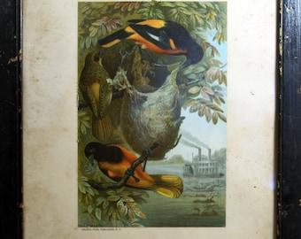 Louis Prang 1898 original antique chromolithograph bird print Selmar Hess publisher Baltimore Oriole