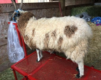 Fine crimpy fleece from Ank-Lambs Flower
