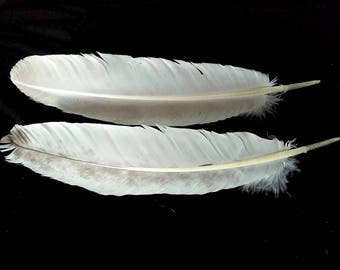 x2 Large Turkey Wing Feathers - Dusted White, Domestic Turkey - meleagris galopavo TW12