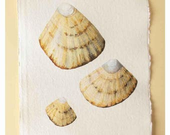 Limpet shells original watercolour painting illustration coastal decor collection beach style