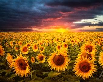 Sunflower Fields Sunset 8x10 Fine Art Flower photo Nature decor home sunflowers sunset photography