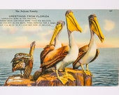 Vintage Florida Postcard, The Pelican Family, Vintage Pelican Postcard, Greetings From Florida, Vintage Postcard