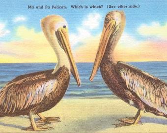 Florida, Ma and Pa Pelican - Linen Postcard - Vintage Postcard - Unused (E)