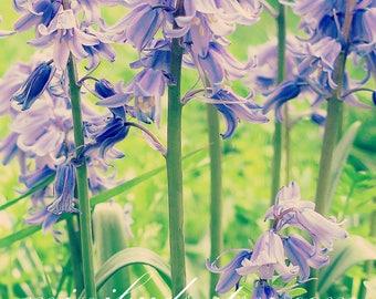 Bluebells 'Eva's Bluebells' digital download. Nature photography, botanical wall art. NOT A PHYSICAL ITEM.