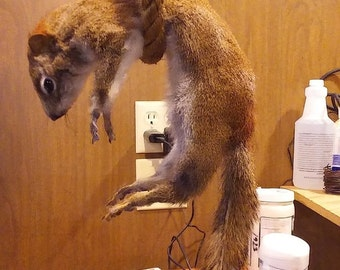 Red Squirrel, Traditional Mount, Dead/Hanging position