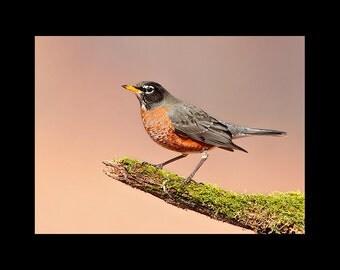 American robin on moss