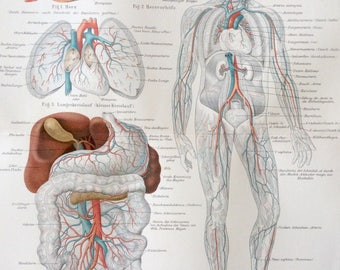 Antique 1890s German Colour Chromolithograph Human Anatomy BLOOD VESSELS VEINS Circulatory System